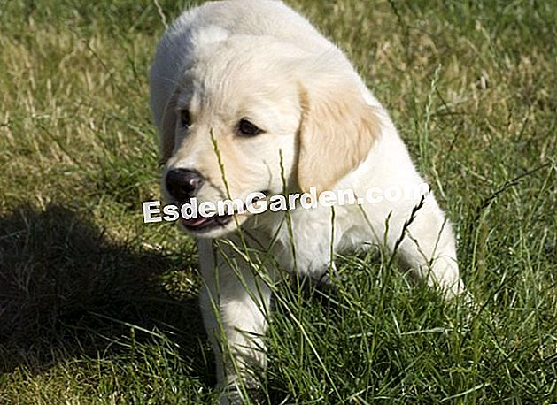 Golden Retriever Welpe 2 Monate alt