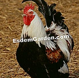 Poultry Meusienne: rooster