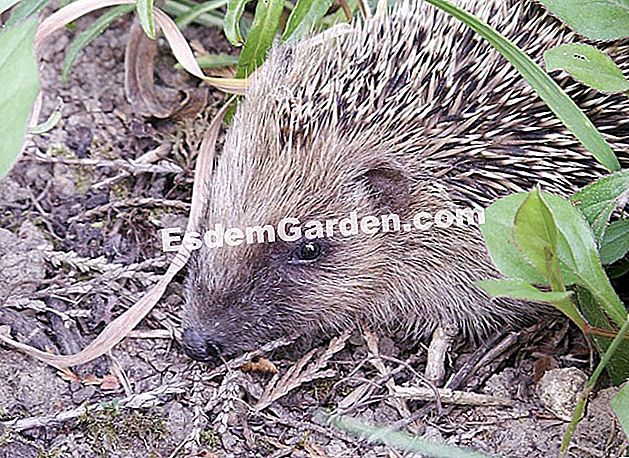 Hedgehog di taman
