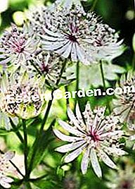 Astrantia gracilis