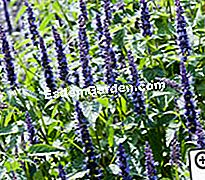 Agastache Astello 인디고