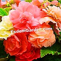 Double Begonias Scented Delbard