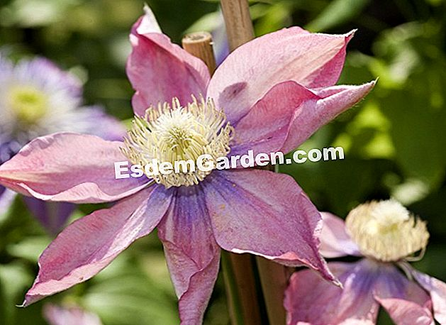 Clematis 'Little Mermaid' / close-up / flower