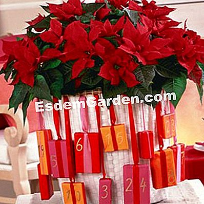Kalendar Advent Floral dengan poinsettias
