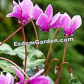 Cyclamen hederifolium, cyclamen of Naples