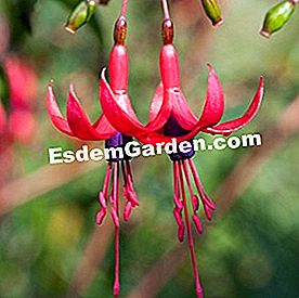 Royal fuchsia 'Reitzii'