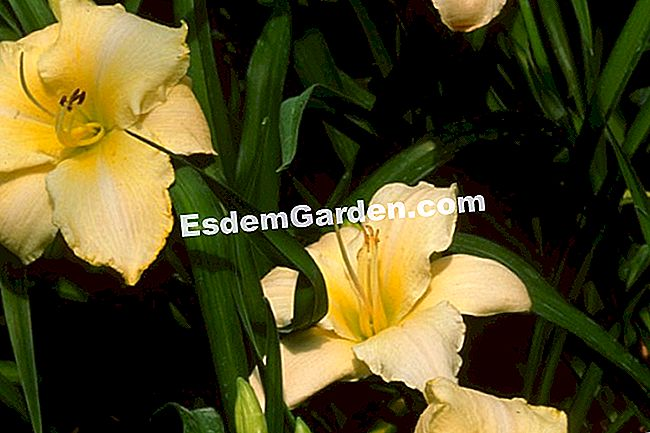Hemerocallis 'Artic Snow'