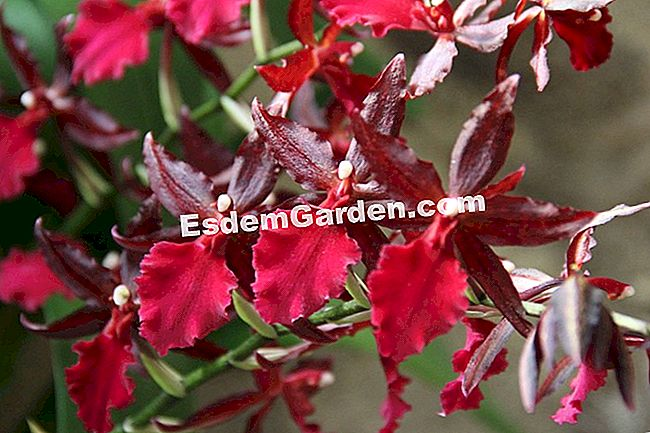 Colmanara 'Massai Red'