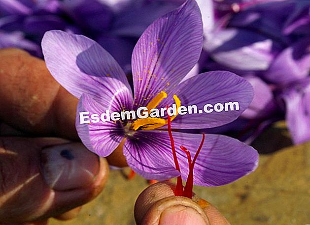 Crocus sativus - Saffron - F. Marre - Dl. Meriguet