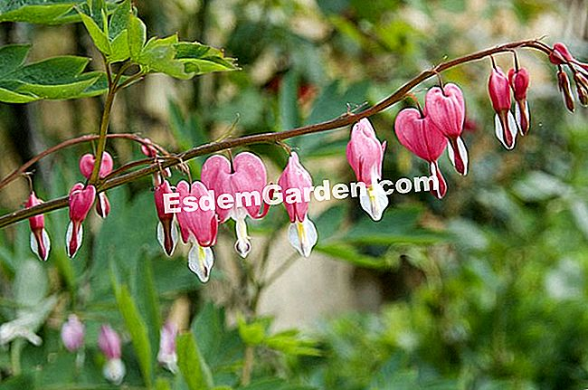 Cuore di Maria (Dicentra) © F. Marre - EsdemGarden - The Wood Pinard - Marie marcat