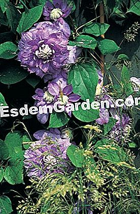 Clematis dengan bunga biru 'Blue Light'