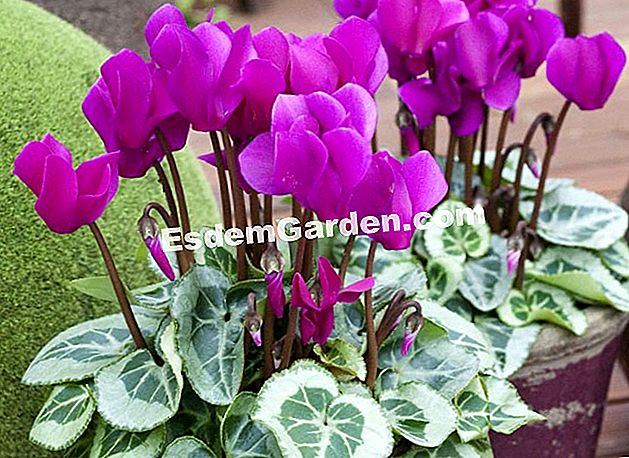 Cyclamen Morel