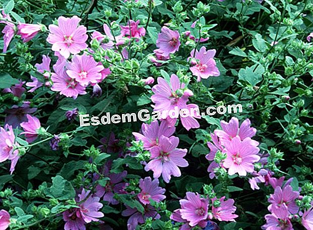 Lavatera 'Candy Floss' (Lavatera) - J. The bret - EsdemGarden - the Clos du Coudray