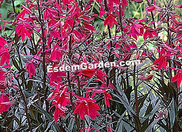 Lobelia 'Russian Princess'