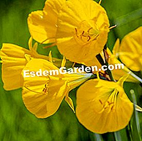 Trumpet-of-Medusa (Narcissus bulbocodium)
