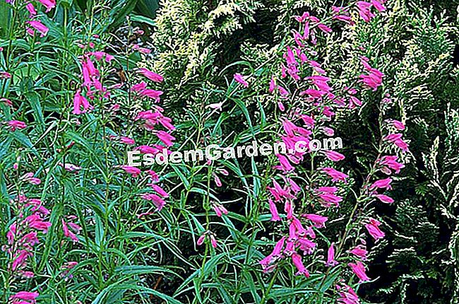 Penstemon 'Evelyn'
