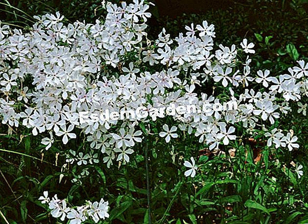 Phlox divaricata 'May Breeze' -esdemgarden.com