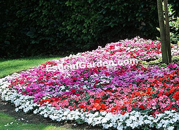 Massif of Impatiens - Jardin Express
