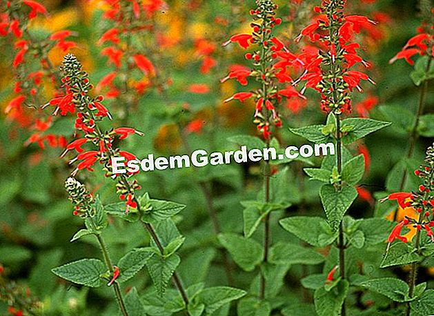 Sage 'Lady in Red'