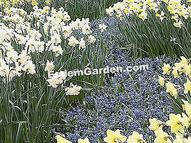 Siberian scilles and daffodils mixed - F. Marre - EsdemGarden