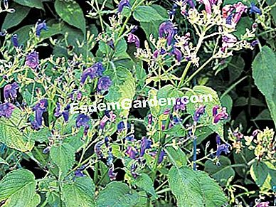 Strobilanthes attenuata