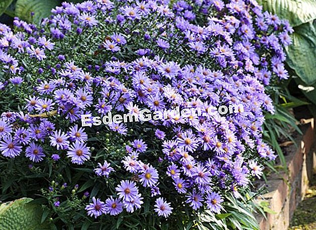 Edge dumpsus-hybrid aster 'Early Blue' - Clos du Coudray