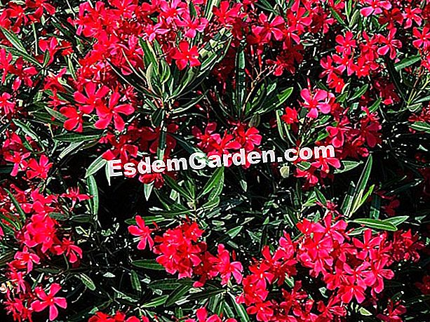 Laurel-rose 'Red d' - J. Malburet - EsdemGarden - Jean Rey Nursery