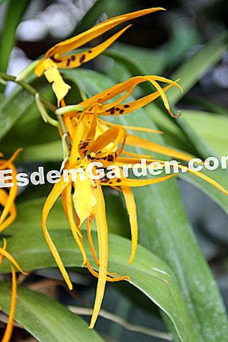 Brassia 'Orange Delight'