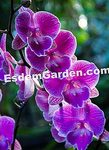 Phalaenopsis 'Big Lip'