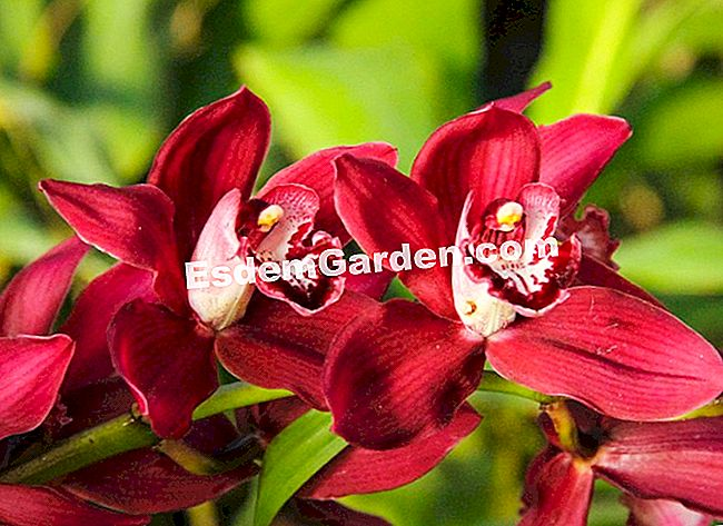 Cymbidium 'Angelica Red'