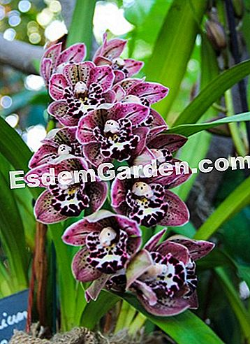 Cymbidium 'Magical Vogel'