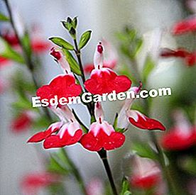 Salvia microphylla 'Hot Lips' (Tutup)