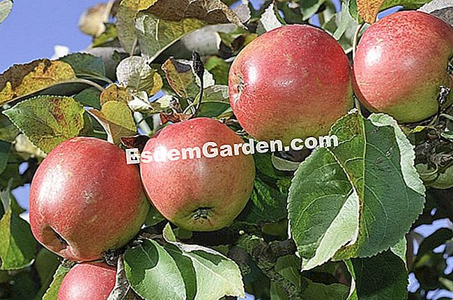 Apfel 'Braeburn' - F. Marre - EsdemGarden - Gartencenter Gally Farm