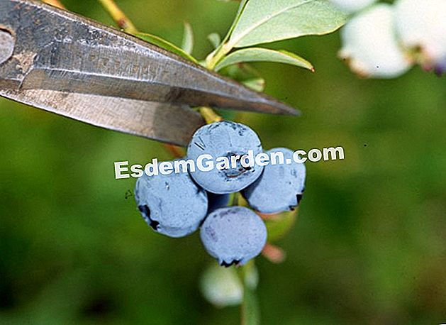 Tuai blueberries