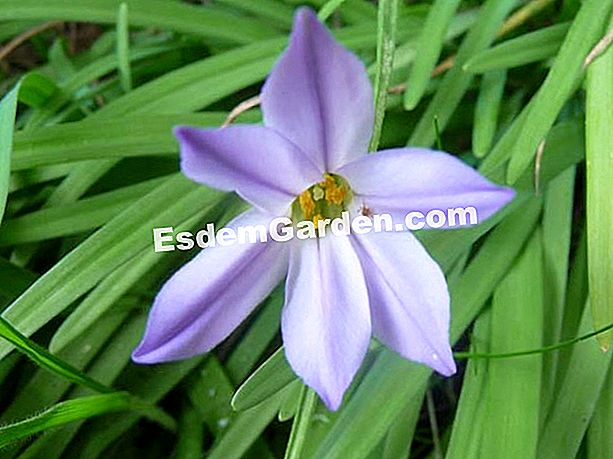 Ipheion - N. Vialard