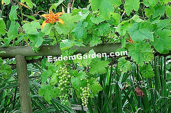 Vine - F. Marre - EsdemGarden - Garden of Maizicourt