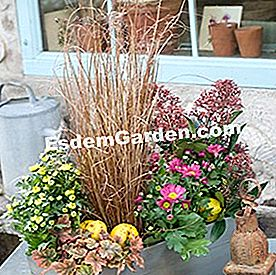 Kotak bunga chrysanthemum Jepun, sedge, heuchere, skimmia japan