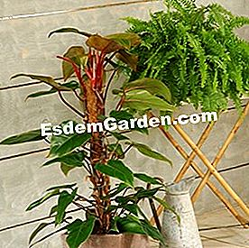 Philodendron erubescens 'Red Emerald' dan nephrolepis