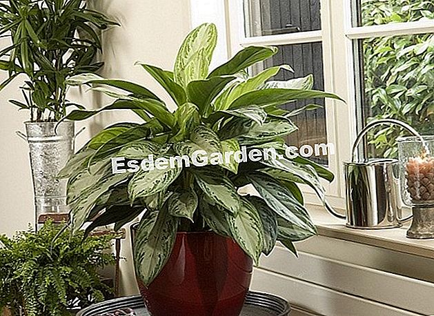 aglaonema in vaso davanti a una finestra