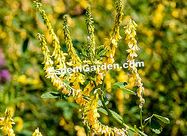 私のレシピの幸福:sweetclover(Melilotus officinalis)