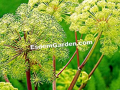 Angelica officinale, Angelica archangelica, pencernaan