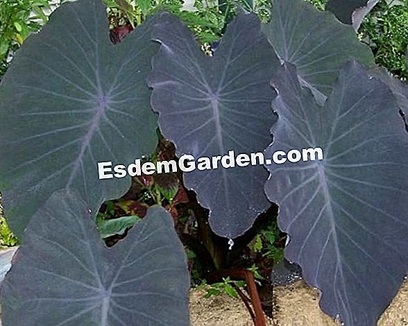 Taro 'Black Magic': telinga gajah hitam (Colocasia esculenta)