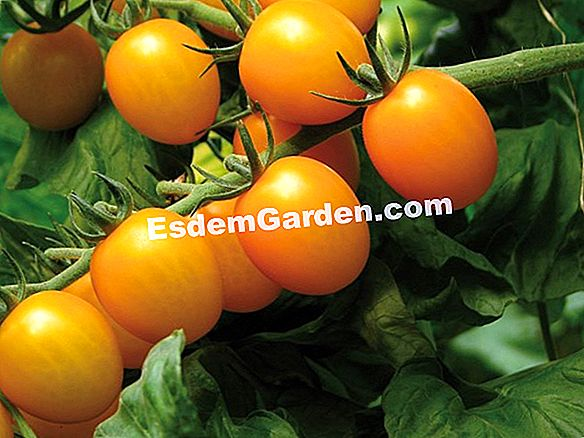 Tomate 'Trilly' (Lycopersicum esculentum)