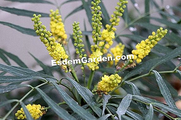 Mahonia eurybracteata 'Soft Caress': un favorito