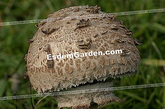 The Macrolepiota procera: identity sheet