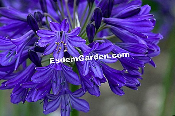 Agapanthus 'Dark Navy Blue'