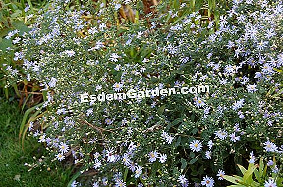 Wild Blue Aster, Rough-leaved Aster