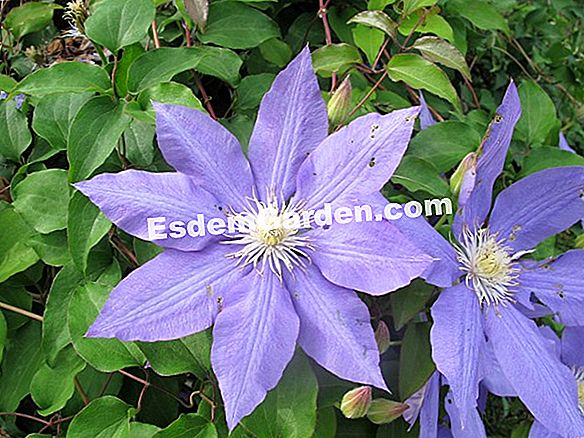 Texas Clematis