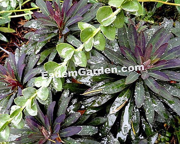 Euphorbia Black Bird