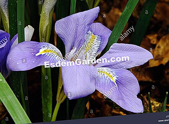 Algiers Iris, Winter Iris